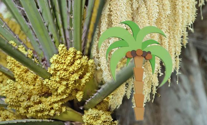 Лечебные свойства пальмовой пыльцы. Как применять пальмовую пыльцу. Противопоказания к применению пальмовой пыльцы.