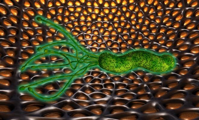 Лечение прополисом бактерию хеликоактер