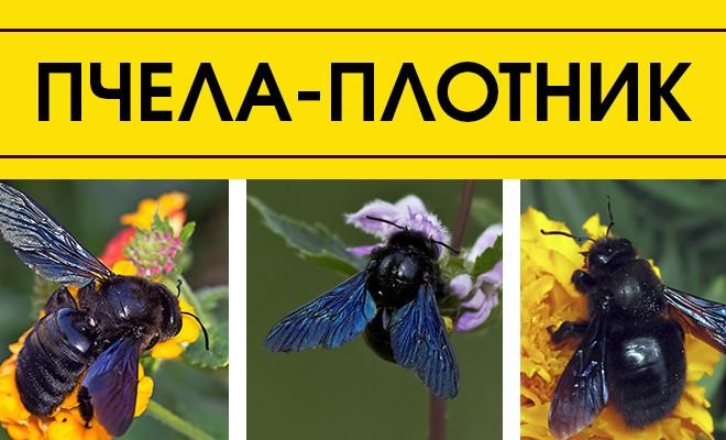 пчела- плотник, редкий вид