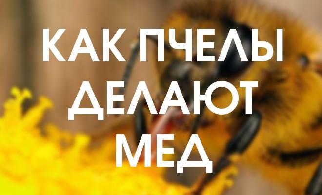 Подробная инструкция: как пчелы делают мед, зачем и почему