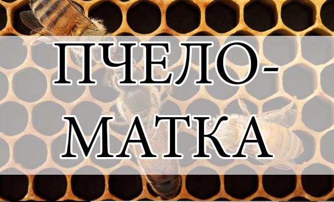 Востребованные породы молодых пчеломаток и особенности их выведения
