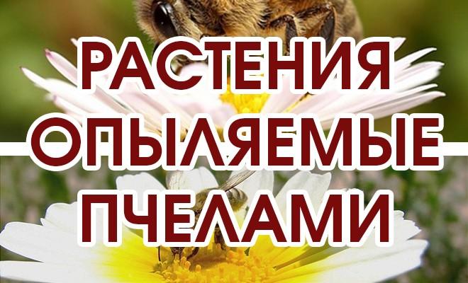 РАСТЕНИЯ которые опыляются пчелами