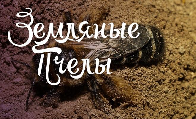 Земляные пчёлы и как от них избавиться