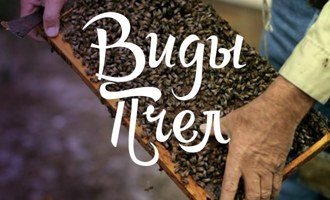 породы и виды пчел
