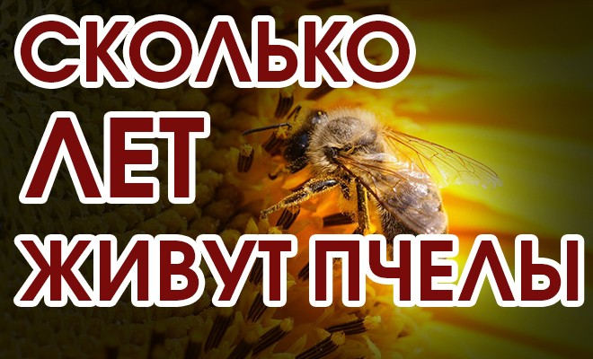 Как узнать сколько живут пчелы