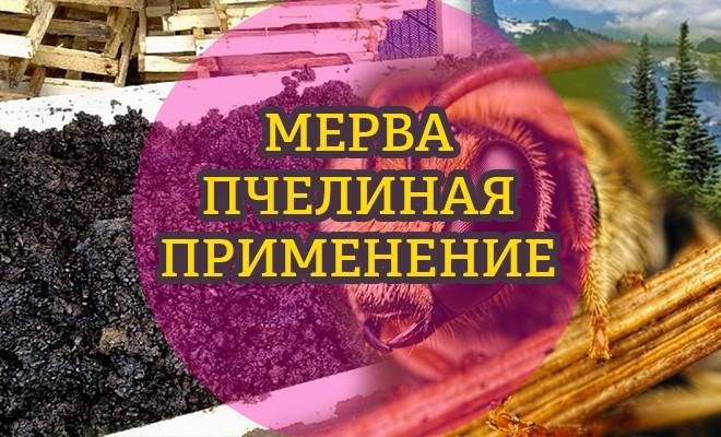 Пчелиная мерва: полезные свойства и применение