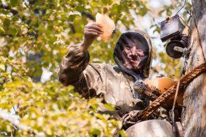 Как добывают бортевой мед