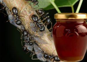 полезные свойства и противопоказания падевого меда