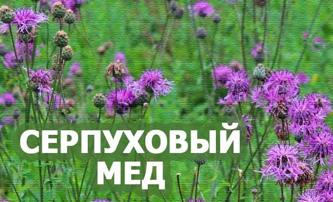 мед сурпуховый