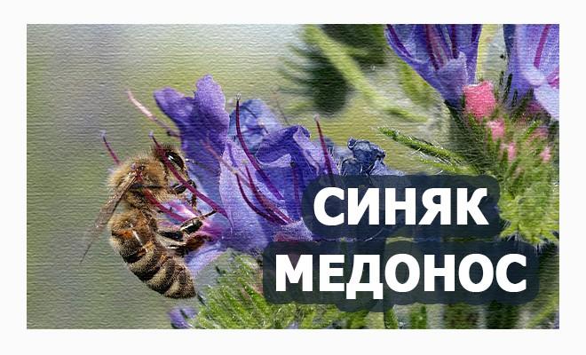 синяк медонос