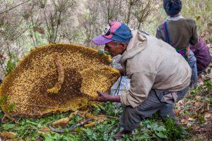 мед диких пчел польза