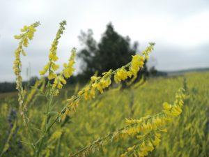 свойства травы донника