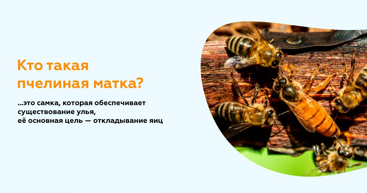Кто такая пчелиная матка