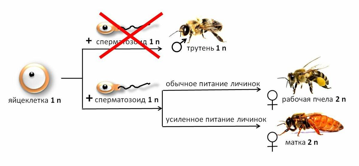 Партеногенез у разных видов пчел