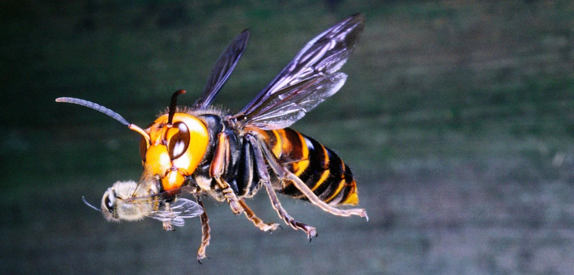 Вредители пчел могут серьезно навредить пчеловодству без принятия всех необходимых мер, нацеленных на защиту пчелосемьи